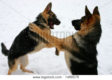 Boxing Dogs!