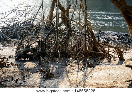 Mangroves forest in Tart Thailand, nature background