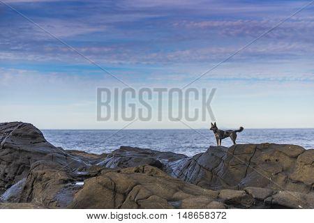 Blue Heeler puppy playing on the beach Haida Gwaii