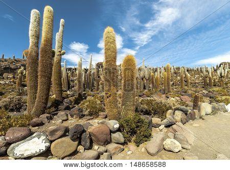 Group of Cacti on Isla Incahuasi, Salar the Uyuni salt lake, Bolivia