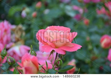 A delightful rose. Flowers large, double, orange-yellow-pink color. Pleasant, slightly sweet flavor with fruity notes.