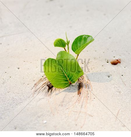 leaf Ipomoea on the beach, white sand