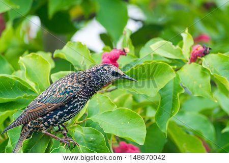 Cute brown female Eurasian Blackbird Juvenile Common Blackbird (Turdus merula) eating red berries on the tree