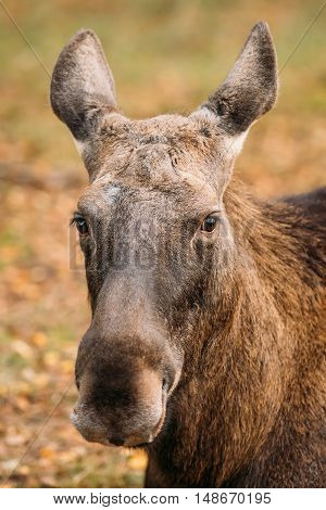 Close Up Of Head Of Wild Female Moose, Elk. The Moose Or Elk, Alces Alces, Is The Largest Extant Species In The Deer Family.