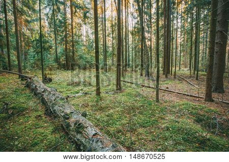Wild Autumn Forest. Fallen Trees In Green Coniferous Forest
