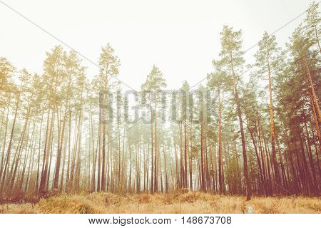 Autumn Misty Green Pine Coniferous Forest Landscape. Scenic View. Faded Film Effect