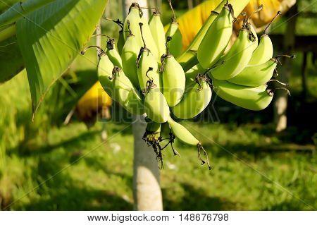 The Banana Bunch Of Raw On Banana Tree In Banana Plantations