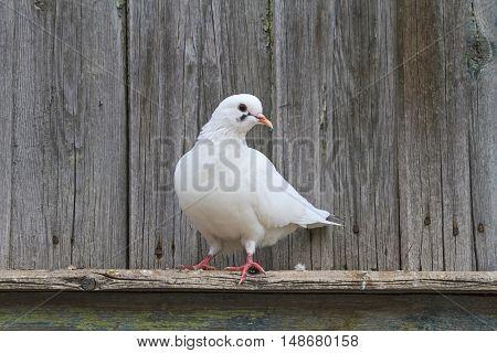 White pigeon standing on one leg on the cornice, postal bird