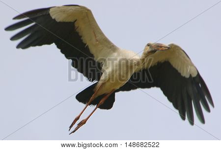 Asian Openbill Stork flying over a rice field near Ranot, Thailand