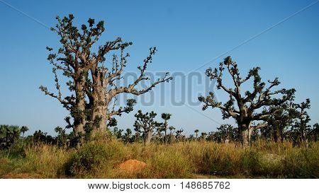 Landscape with giant Baobab forest Dakar Senegal