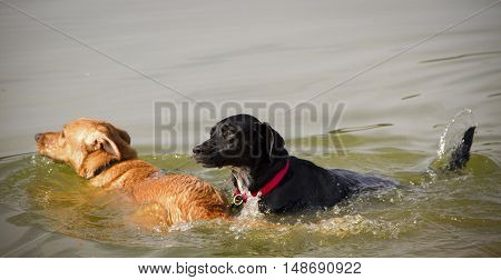Two dogs, one black,one tan dog paddling in a pond together