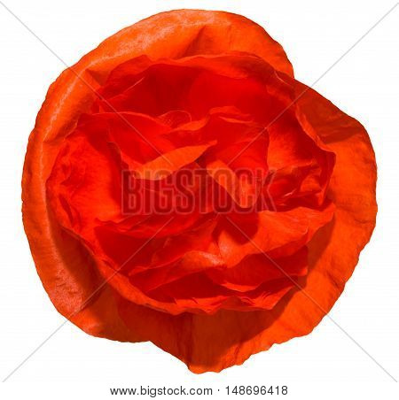 red poppy isolated on white background .