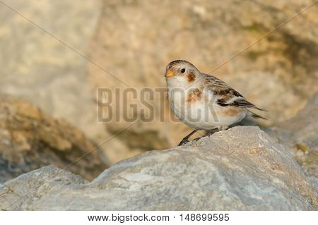 Snow Bunting (Plectrophenax nivalis) male in winter plumage