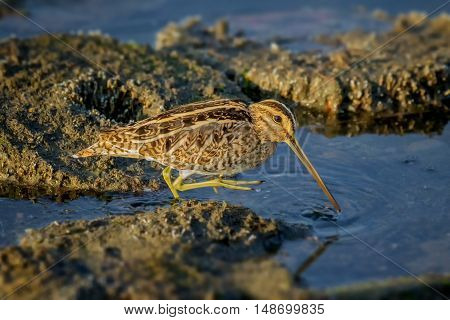 Common snipe searching for food in shallow water