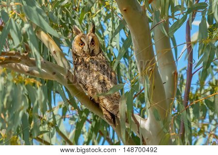 Long-eared Owl sitting on the tree in day