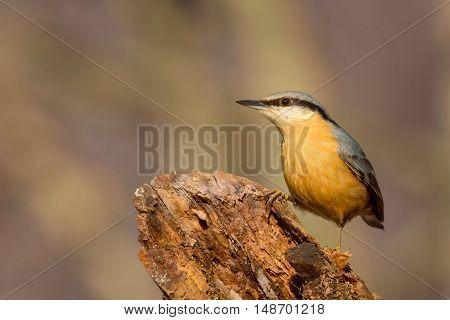 Eurasian Nuthatch - Sitta europaea sitting on the tree