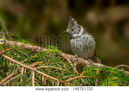 European Crested Tit (Lophophanes cristatus) on fir-tree