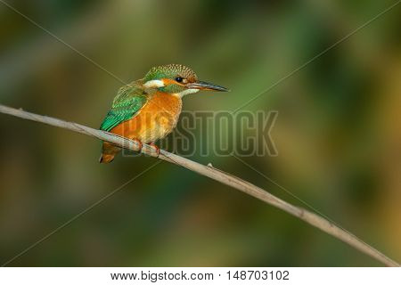 Kingfisher (Alcedo Atthis) Sitting On A Reed
