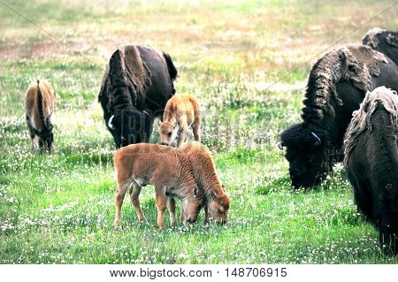 Two baby buffalo nuzzle each other while grazing in a field in Yellowstone National Park.