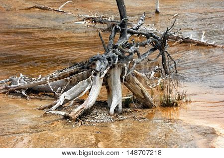 Twisted and gnarled roots of rotting tree sits in wet algae pool in the Norris Geyser Basin in Yellowstone National Park.