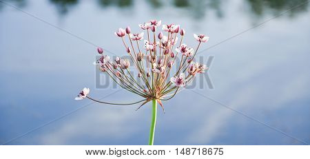 Inflorescence of a water plants called Flowering rush or grass rush (Butomus umbellatus) close-up