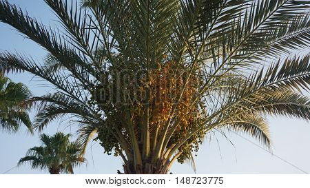 african palm tree on cape verde on sal island