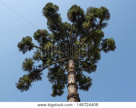 Araucaria tree (Araucaria angustifolia) pine coniferous nature