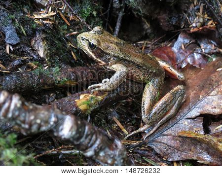 A Northern Red-legged Frog in the forest