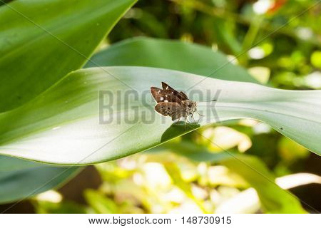 Macro of Clouded Skipper Butterfly on the green leaf