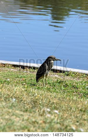 Night Heron near the pond in Utah