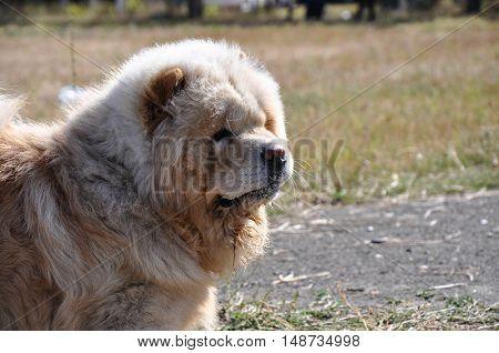 Dog Breed Chow-chow