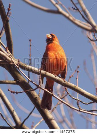 Northern Cardinal (Cardinalis)