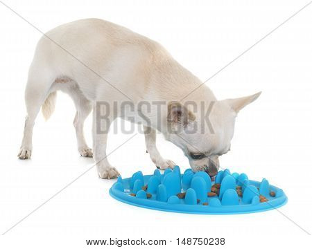 dog accessory for eating and chihuahua in front of white background