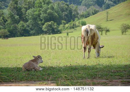 Newborn calf lying in green on the vast grassland with blurred background