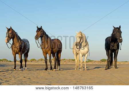 four horses standing on the beach with bridle