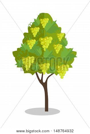 White grapes hanging on a bush. Vineyard icon. Vineyard grape. Wine grapes in vineyard ready for harvest. Grape bush icon. Ripe white grapes with shadow. Vector illustration on white background.
