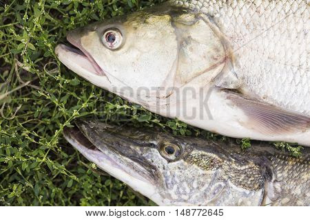 asp predatory freshwater fish and pike on green grass close up.