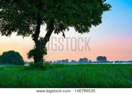 Linden tree in the meadow. May dewy dawn. Masuria Poland.