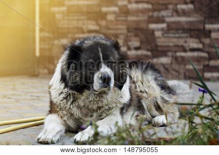 Fluffy Caucasian shepherd dog is lying on the ground. Adult Caucasian Shepherd dog in the yard. Fluffy Caucasian shepherd dog in the yard