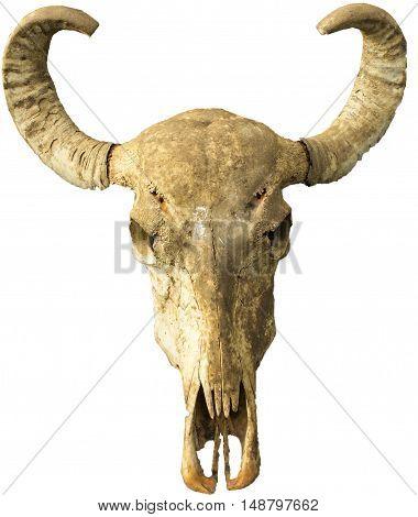 A skull from a buffalo in Sri Lanka.