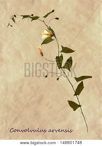 Herbarium from pressed and dried flowers of field bindweed with Latin subscript Convolvulus arvensis on antique brown craft paper.