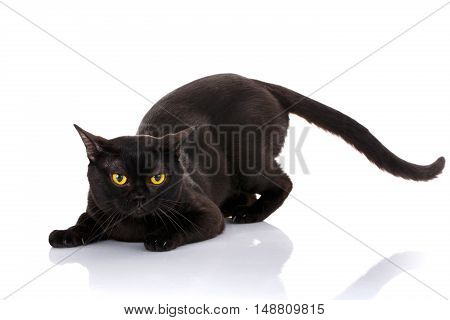 black cat Bombay with bright yellow eyes and an open mouth on a white background sat in the front paws. preparing to attack. predator style