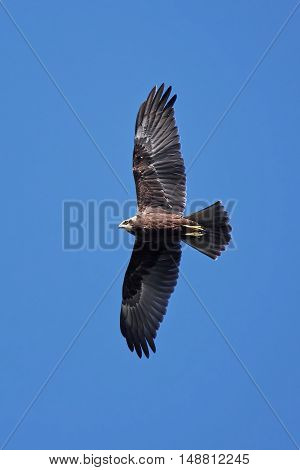 Western marsh harrier (Circus aeruginosus) in flight with blue skies in the background