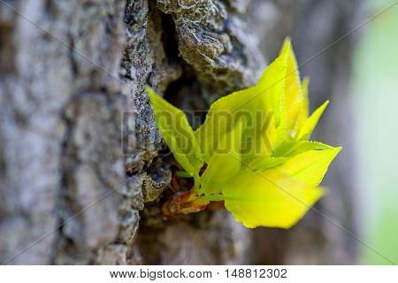 young leaves of the tree in the sun with yellow overflow filmed on macro lens.