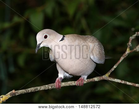 Close up of a Collard Dove perched on a branch