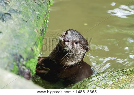 The Eurasian otter (Lutra lutra) in pond. Singapore.