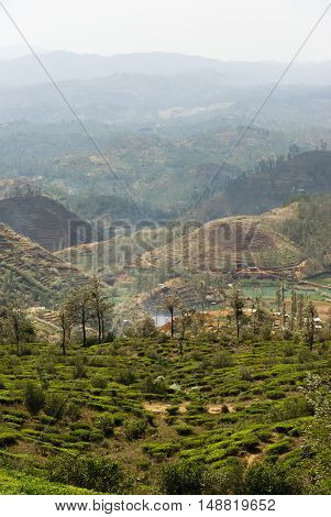 Tea plantations in Nuwara Eliya, Sri Lanka