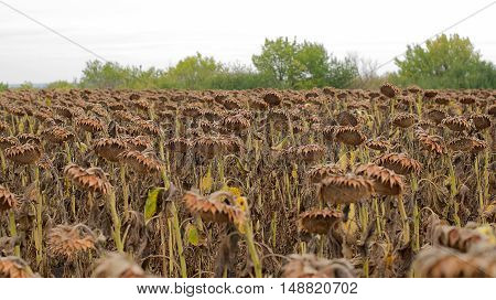 Dried sunflower on a field in autumn