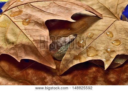 dry fallen leaves in autumn with raindrops