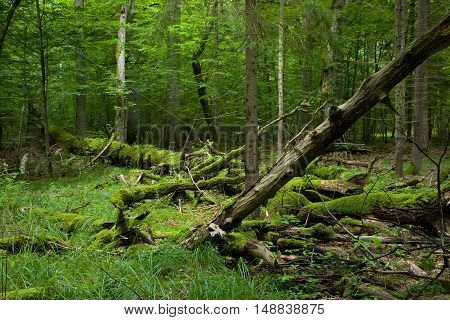 Fresh deciduous stand of Bialowieza Forest in summer with dead broken oak in foreground, Bialowieza Forest, Poland, Europe